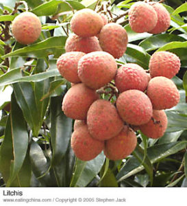 Ripe lychee bunch on a tree