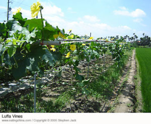 Flowering luffa (Silk Melon) vines