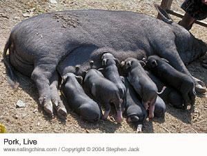 Mother pig suckling piglets